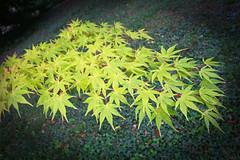IMG_0640 (bob_rmg) Tags: perrow arboretum tree autumn colour leaves bedale thorp maple