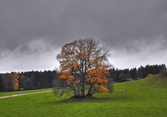 November (Claude@Munich) Tags: germany bavaria upperbavaria bad tölzwolfratshausen egling harmating oak tree trees clumpoftrees clusteroftrees clouds cloudy sky fall autumn autumncoulors autumntints claudemunich bayern oberbayern eiche eichen eichengruppe baumgruppe herbstfärbung november explore explore87171113