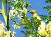 Neck out for nectar (A. K. Hombre) Tags: cinnyrisjugularis bird olivebackedsunbird aves animal moringa tamsi nectarivore nectariniidae kelicap flores flora plant leaves passeriformes blooms blossoms fleur