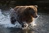 Aaaaand... Action! (wyrickodiak_9) Tags: kodiak alaska brown bear grizzly sow cubs fishing river island mammal wildlife apex predator