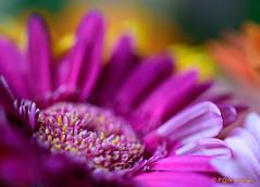 kleur (www.petje-fotografie.nl) Tags: ptjefotografie bloeen hdr kleurlucht kleuren macro