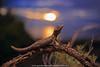Sunset over the Southern Ocean at Ceduna (Rob Valentic - Gondwana Reptile Productions) Tags: ilovemyprimagon cedunareptiles sanddune sunsetgecko sundown coastalsanddunes coastallimestone beachlizards southaustralianreptiles aridaustralianreptiles desertgecko australianlizards spectacularaustralianlizards spectacularaustraliangecko robvalentic bokehofvintageprimes theartofvintageglass 3545primagon 3545 35mmgerman m42meyerprimagon3545redv m42oncanoneos m42adaptereos nocturnal m42bokeh 9mmextensiontubem42 thirdpartyadapter vintagelensgroup vintagelens oldlensnewcamera strophurus strophurusintermedius southernspinytailedgecko spinifexlizards chenopodshrubland malleeheathland malleereptiles kaleidoscopiceyes primagon45 shootintothesun shootwideopen redv meyerprimagoncoatedm42aluminium35mm 3545primagonwideanglevintageprimeoneos canoneos5dmark3 crypsis arboreal treelizards urbanwildlife goldenhourbokeh twilight southernocean