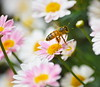 Bee (112echo) Tags: bee macro macrophotography flower insectphotography insectlovers insects garden flying flowersandmacro small sunny outdoors backyard lismore nikon d3400 northernrivers