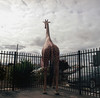 Giraffe (adzscott) Tags: mamiya rz67 120mm streetphotography australia victoria adamscottphotography