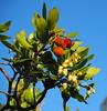 Arbutus unedo (tgrauros) Tags: arboç arbutusunedo cirererdarboç ericàcies madroño arbocer ericaceae strawberrytree fruits flowers almindeligjordbærtræ gurbitz