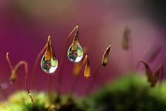 Dédoublement... (Callie-02) Tags: fleur bois rosée brillance canon profondeurdechamp bokeh macro couleurs extérieur jardin mousses reflets réflexion perles eaux drops gouttes moss sporophytes