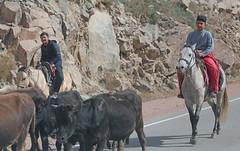 Kyrgyz Cowboys (peterkelly) Tags: kyrgyzstan asia digital gadventures centralasiaadventurealmatytotashkent canon 6d horse cows road street hat cowboy herd rock cattle herding riding man