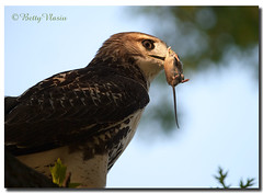 Red-Tailed Hawk (Betty Vlasiu) Tags: redtailed hawk nature bird specanimal wildlife