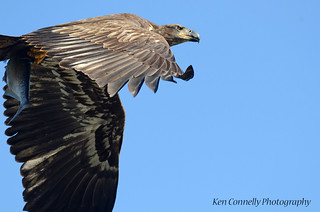 Juvenile Bald Eagle fly by.