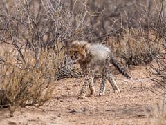 World Cheetah Day 2017 (jaffles) Tags: southafrica südafrika kalahari kgalagaditransfrontierpark ktp gepard cheetah junges cub endangered wildlife natur nature beautiful olympus safari predator raubkatze worldcheetahday2017