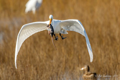 Great Egret (Bob Gunderson) Tags: alamedacounty ardeaalba arrowheadmarsh birds california eastbay egrets greategret northerncalifornia wadingbirds sunrays5 ngc