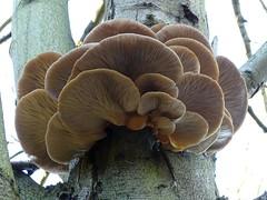 Oyster mushrooms (Kniphofia) Tags: oyster mushrooms fungi pleurotusostreatus