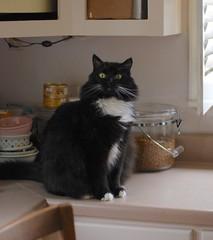 Batman (rootcrop54) Tags: batman longhair furry fluffilicious tuxedo male cat countertop window what neko macska kedi 猫 kočka kissa γάτα köttur kucing gatto 고양이 kaķis katė katt katze katzen kot кошка mačka gatos maček kitteh chat ネコ