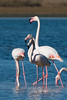 D50_6264-2.jpg (ManuelSilveira) Tags: flamingos aves fauna óbidos leiria portugal pt