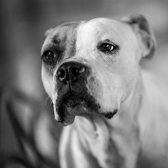 Tiana03Dec201723-Edit.jpg (fredstrobel) Tags: dogs pawsatanta phototype atlanta blackandwhite usa animals ga pets places pawsdogs decatur georgia unitedstates us