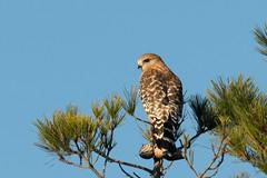 DSC_5941.jpg Red-shouldered Hawk, Schwan Lake (ldjaffe) Tags: schwanlake redshoulderedhawk