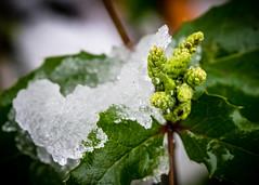8209 (1 of 1) (sallyjane6) Tags: snow snowyday newlife buds winter bedford holly macro closeup
