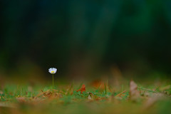 See beauty in the small things (Lorrainemorris) Tags: autumncolours wildflowers smallthings greengrass wild nature daisy