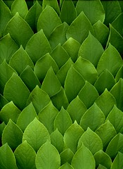 58605.01 Stewartia pseudocamellia (horticultural art) Tags: horticulturalart stewartiapseudocamellia stewartia leaves scales pattern