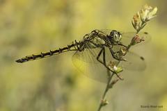 Orthetrum cancellatum (Linnaeus 1758. Macho. Male (Ricardo Menor) Tags: odonatos anisópteros orthetrumcancellatum airelibre elcoto iluminaciónnatural dragonfly dragonflies elcoto2016 2016 macho male