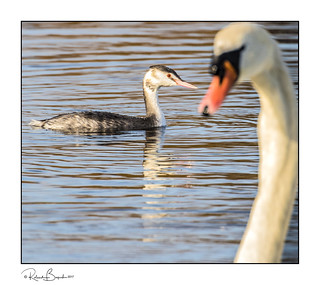 Mute Swan photobombs Great Crested Grebe