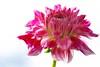 7DWF....Flora (Sue Armsby) Tags: 7dwf flowers flora fabulousflowers fleur fragrant foliage bokeh blur pink pretty outdoors outside