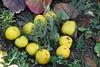 Evidenziatori giapponesi (diemmarig) Tags: timo falsocotognogiapponese chaenomeles japonica francesco egidio thymusfaustini