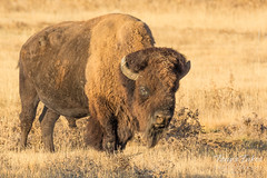 Big, bad Bison bull