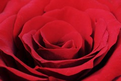 Red rose using my Macro tubes 🌷😁 (LeanneHall3 :-)) Tags: red rosepetal rose petals closeup closeupphotography macrotubes macro hull canon 1300d flowerarebeautiful flowersarefabulous flowerflowerflower