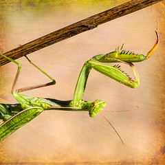 Pose (docoverachiever) Tags: insect preyingmantis macro critter portrait green