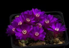 Sulcorebutia sp  kk 1051 (clement_peiffer) Tags: flowerscolors sulcorebutia sp kk 1051 d7100 105mm cactaceae succulent peiffer clement nikon cactus fleurs flower spines epines kaktusi кактуси