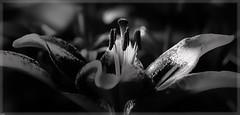 Flower Winter Garden (elpedro1960) Tags: flower auckland domain new zealand monochrome blackandwhite