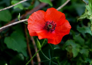 Red Poppy - Western Himalayas ~2100m (6837 ft) Altitude