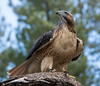 Red-tailed Hawk (Jon David Nelson) Tags: redtailedhawk birdsofprey buteo buteojamaicensis wildlife centraloregon education birds raptors highdesert