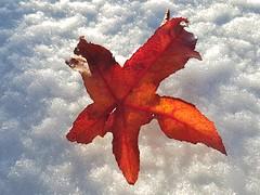 One single leaf (katy1279) Tags: smileonsaturday onesingleleaf snowwinterredcolourfulleaf