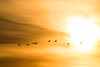plénitude solaire (A Crokaert प्रकृति र परिद) Tags: arjuzanx grues