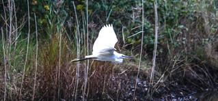 Little Egret RSPB Conwy