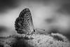 colorful (AnteKante) Tags: schmetterling miniatur mini insekt flower blume insect weis käfer makro macro butterfly bug blüte stillewelt schwarzweis blackandwhite silentworld white