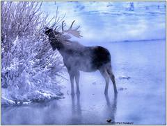 IN THE MIST ... (Aspenbreeze) Tags: bullmoose moose wildlife wyomingwildlife coloradowildlife animal wildanimal nature hotsprings springs willow mist fog steam thermalfeature grandtetonnationalpark winter wyoming bevzuerlein aspenbreeze moonandbackphotography