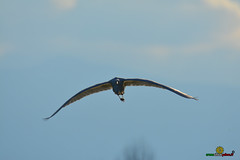 A-LUR_2131 (OrNeSsInA) Tags: trasimeno uccelli bird natura italia umbria castiglionedellago ornessina lucarosi nikon tamron byrd lago chiusi siena perugia aironi cormorani