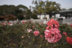 flowers (Hideki Iba) Tags: suita osaka japan nikon d850