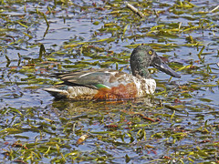 Anas clypeata / Mestolone /Northern shoveler (Alvaro Colombo) Tags: nationalgeographicwildlife specanimal ngc coth5 fantasticnature