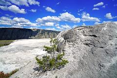 Lone little pine on the travertine mound, Mammoth Springs, Yellowstone NP (Andrey Sulitskiy) Tags: usa wyoming yellowstone