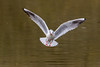 Crains moi aussi!! - Fear me too!! (bboozoo) Tags: nature animal wildlife lake lac canon6d tamron150600 mouette seagull