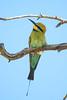 A male Rainbow Bee-eater (Merops ornatus) (Jan Ranson) Tags: 2017 australia kingspark perth rainbowbeeeater meropsornatus