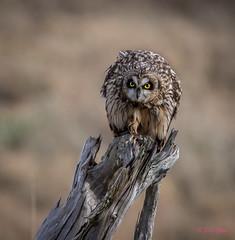 Short-eared Owl (Eric_Z) Tags: shortearedowl owls delta britishcolumbia canada canoneos7dmkii ef100400mmf4556lisiiusm perched