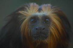 Leontopithecus crysomelas