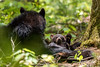 """""""Thankful!"""" A sow and her cubs at Cades Cove, Tennessee in the Great Smoky Mountains National Park -  Judy Royal Glenn Photography (Judy Royal Glenn) Tags: 2017 tennessee bear bearcub bears greatsmokymountainsnationalpark gsmnp cadescove cadescovetennessee cadescovebears judyroyalglennphotography judyroyalglenn blackbear blackbearcub nature naturephotography wildlife wildlifephotography cub sow blackbears babycubs christianphotographer thankful animal forest woods tree mammal"""