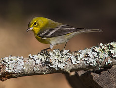Pine Warbler, male (AllHarts) Tags: malepinewarbler backyardbirds cordovatn naturesspirit thesunshinegroup sunrays5 challengeclubchampions