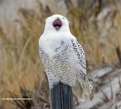 Snowy Owl Yawning (rumerbob) Tags: snowyowl owl birdofprey raptor bird birdwatching birdwatcher wildlife wildlifewatcher nature naturewatcher islandbeachstatepark canon7dmarkii canon100400mmlens